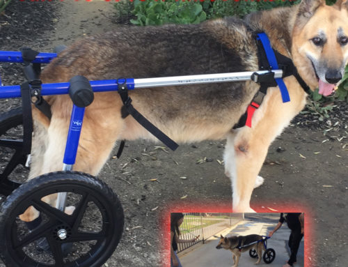 Our Dog Gets A Wheelchair!