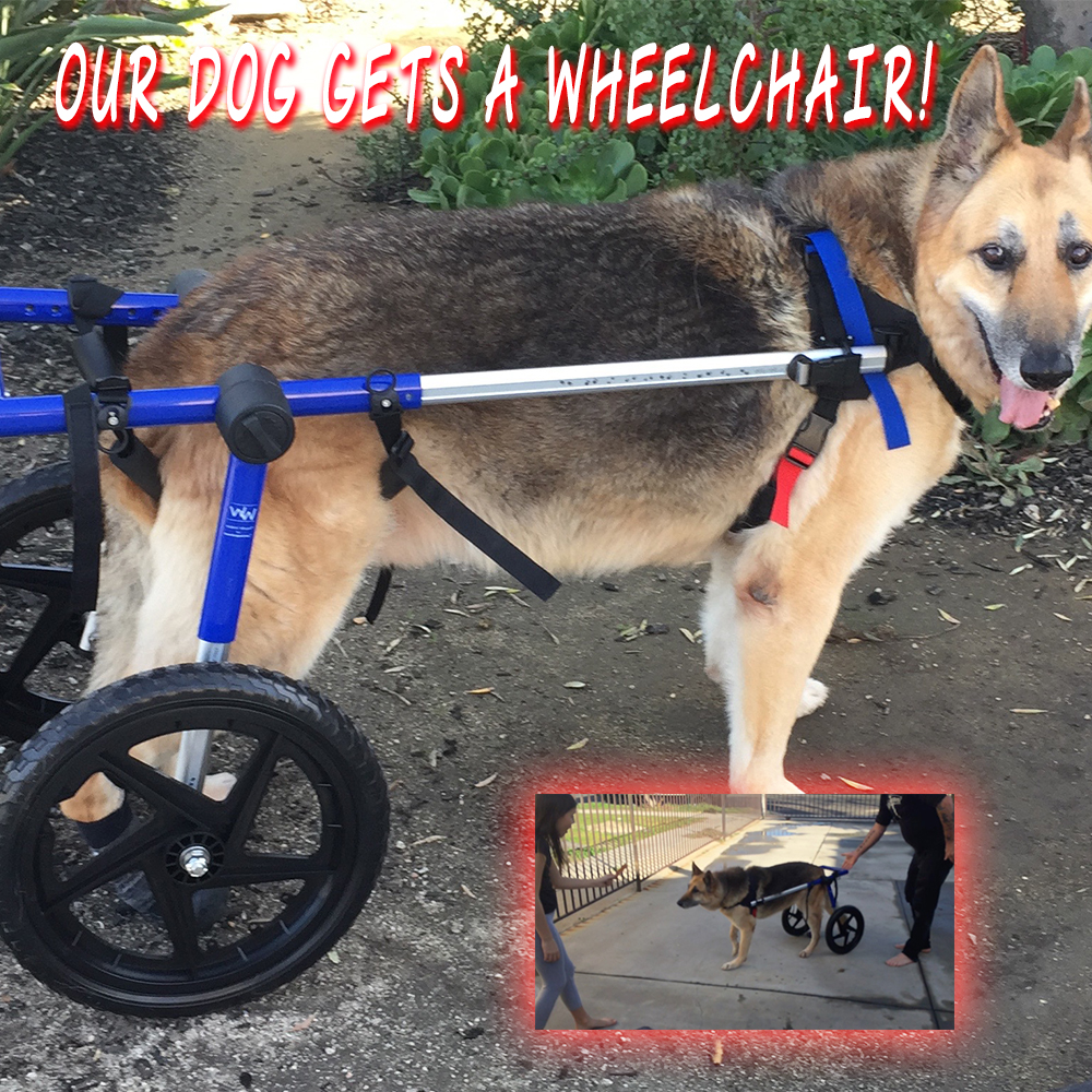 Thumbnail for the post titled: Our Dog Gets A Wheelchair!